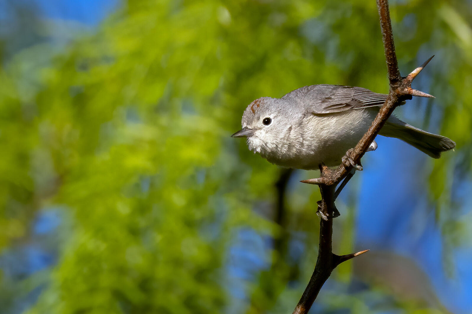 Lucy's Warbler. Mick Thompson