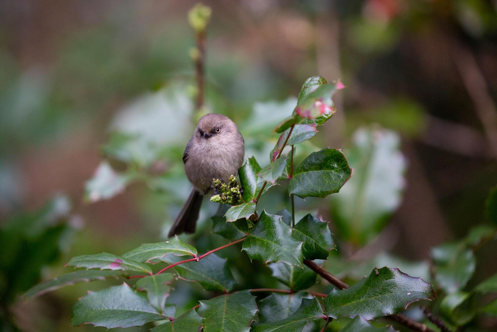 Bushtit on an Oregon Grape. Luke Franke/Audubon