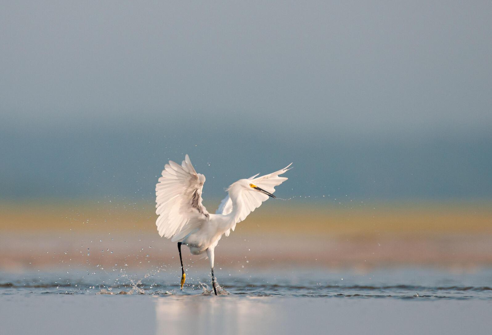 Snowy Egret. Walker Golder
