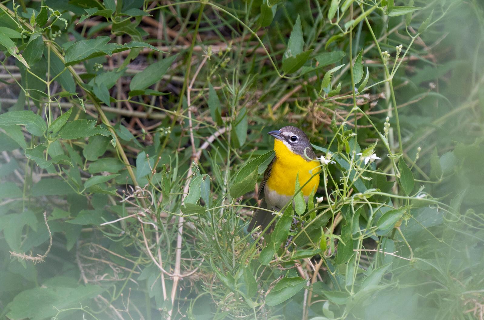Yellow-breasted Chat. Evan Barrientos/Audubon Rockies
