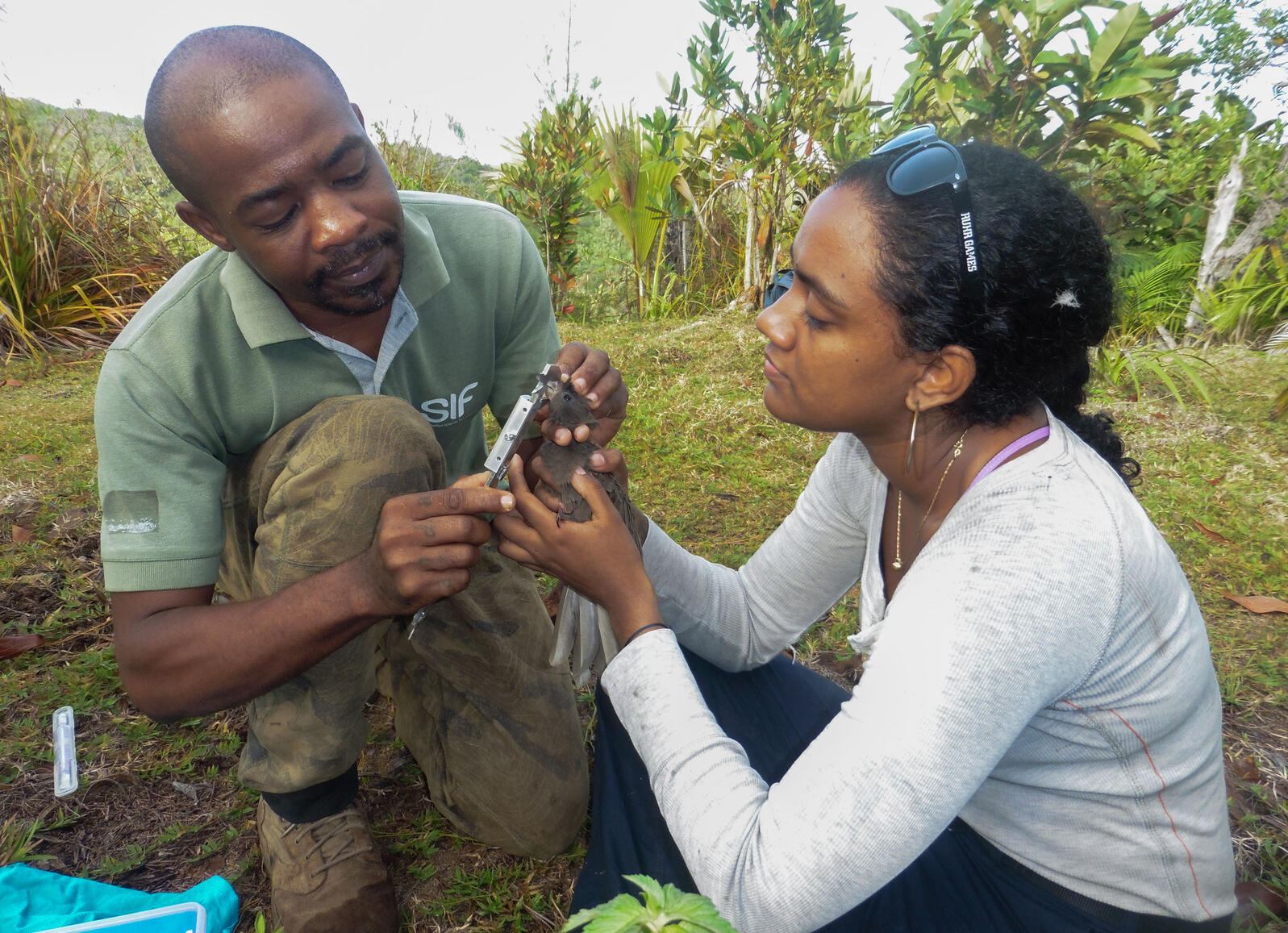Vero Couttee, right, working as a project officer with the Seychelles Islands Foundation, bands a Black Parrot with colleague Terence Mahoune on the island of Praslin, Seychelles  in 2017. Courtesy of Vero Couttee