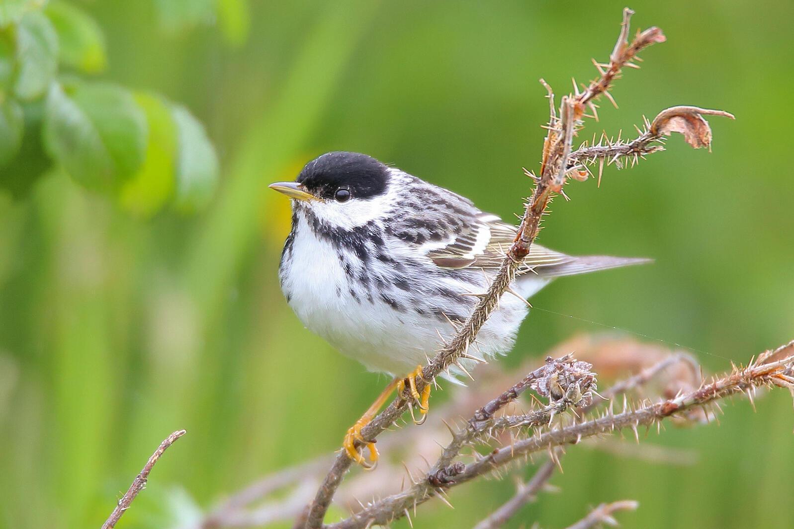 Blackpoll warbler. Scott Heron/Flickr (CC BY SA 2.0)