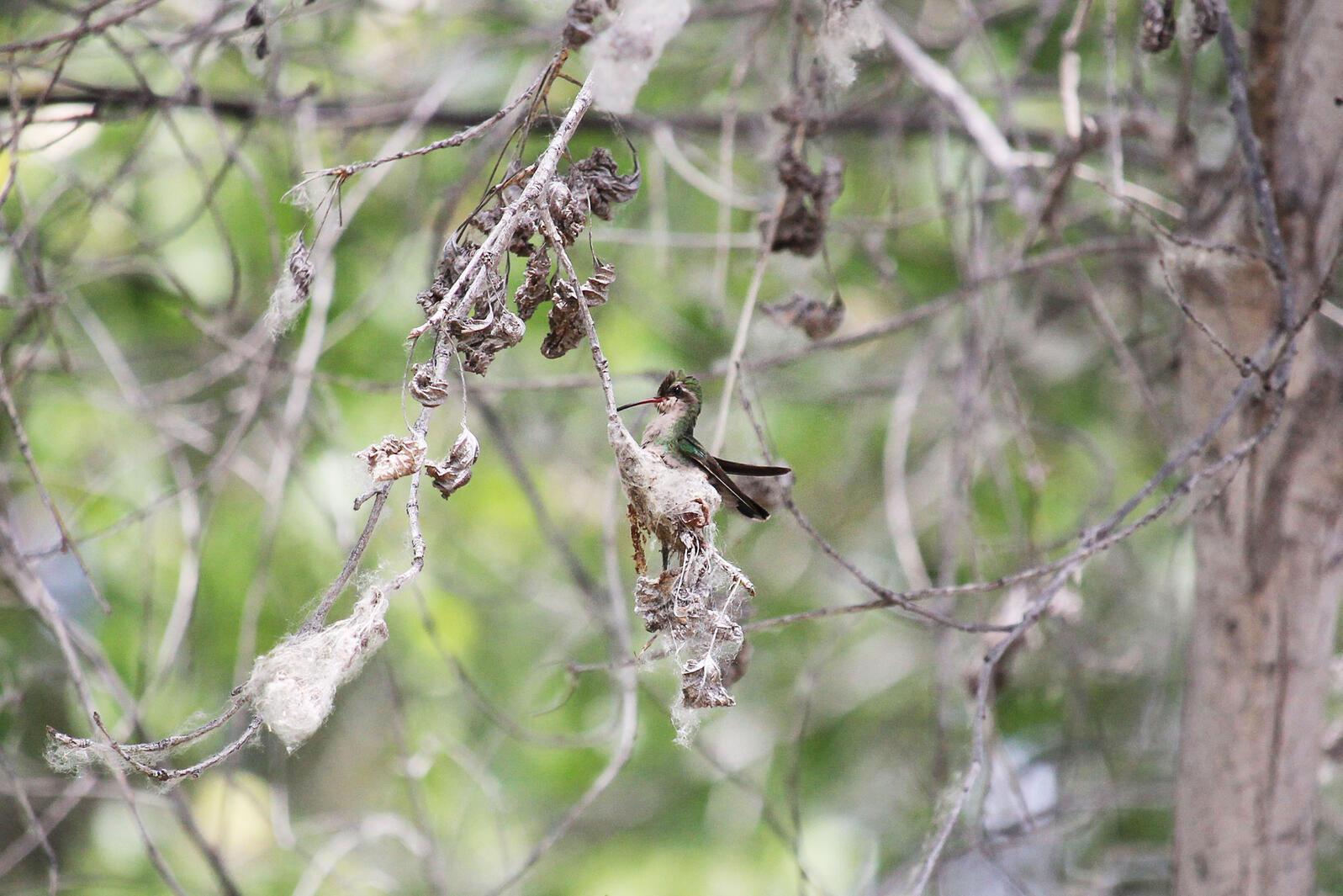 Broad-billed Hummingbird. Jason Sigismondi