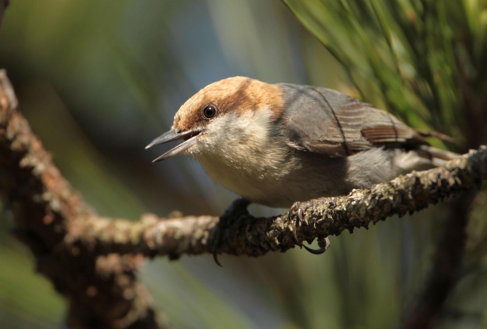 Brown-headed Nuthatch on a Longleaf Pine. Matt Tillett/Flickr (CC BY 2.0)