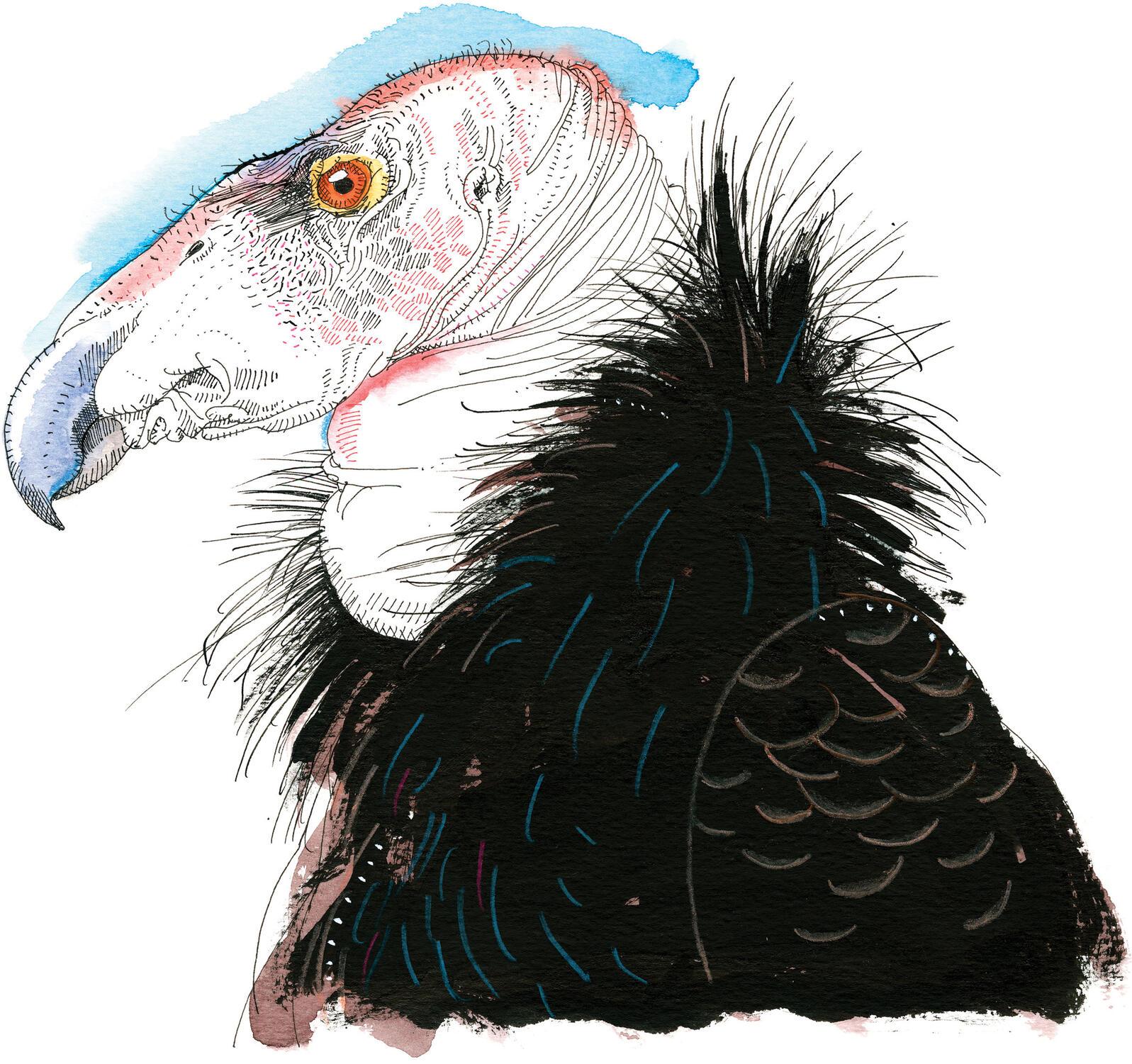Cóndor de California. Ilustración: Joel Ciardiello
