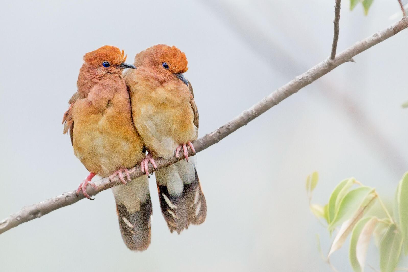 Blue-eyed Ground-Doves. Rafael Bessa