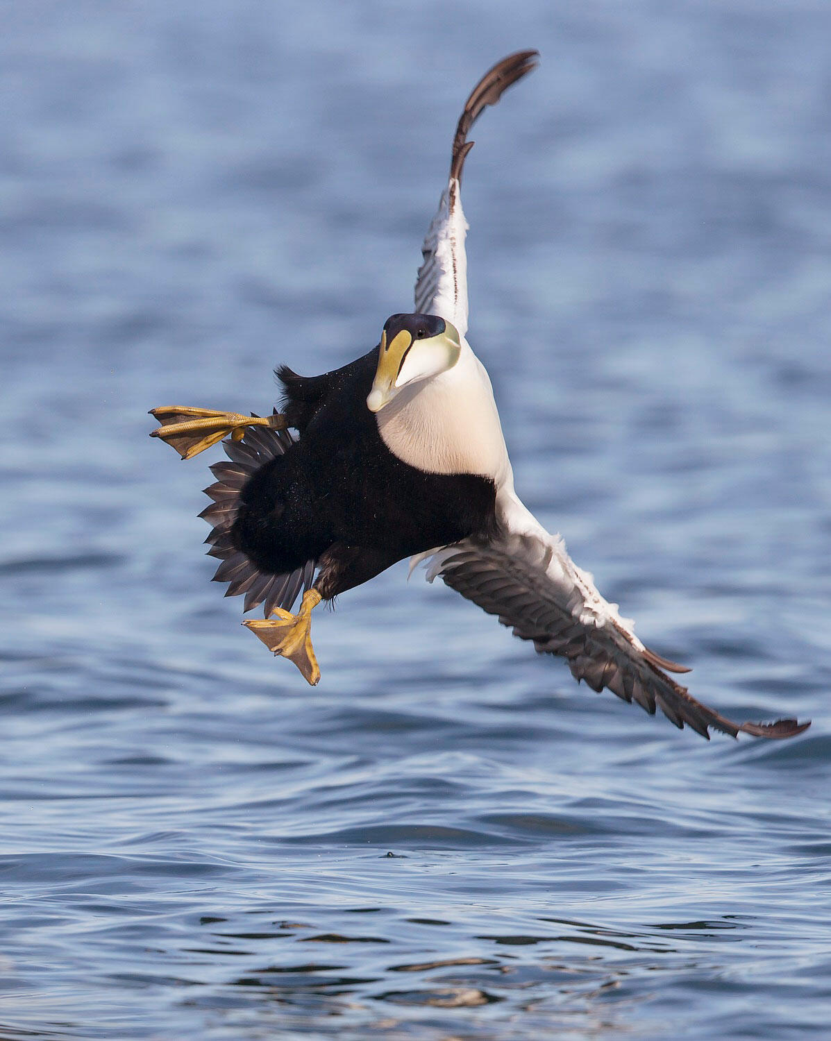 Watch out! There's an acrobatic Common Eider incoming! Brian Zwiebel