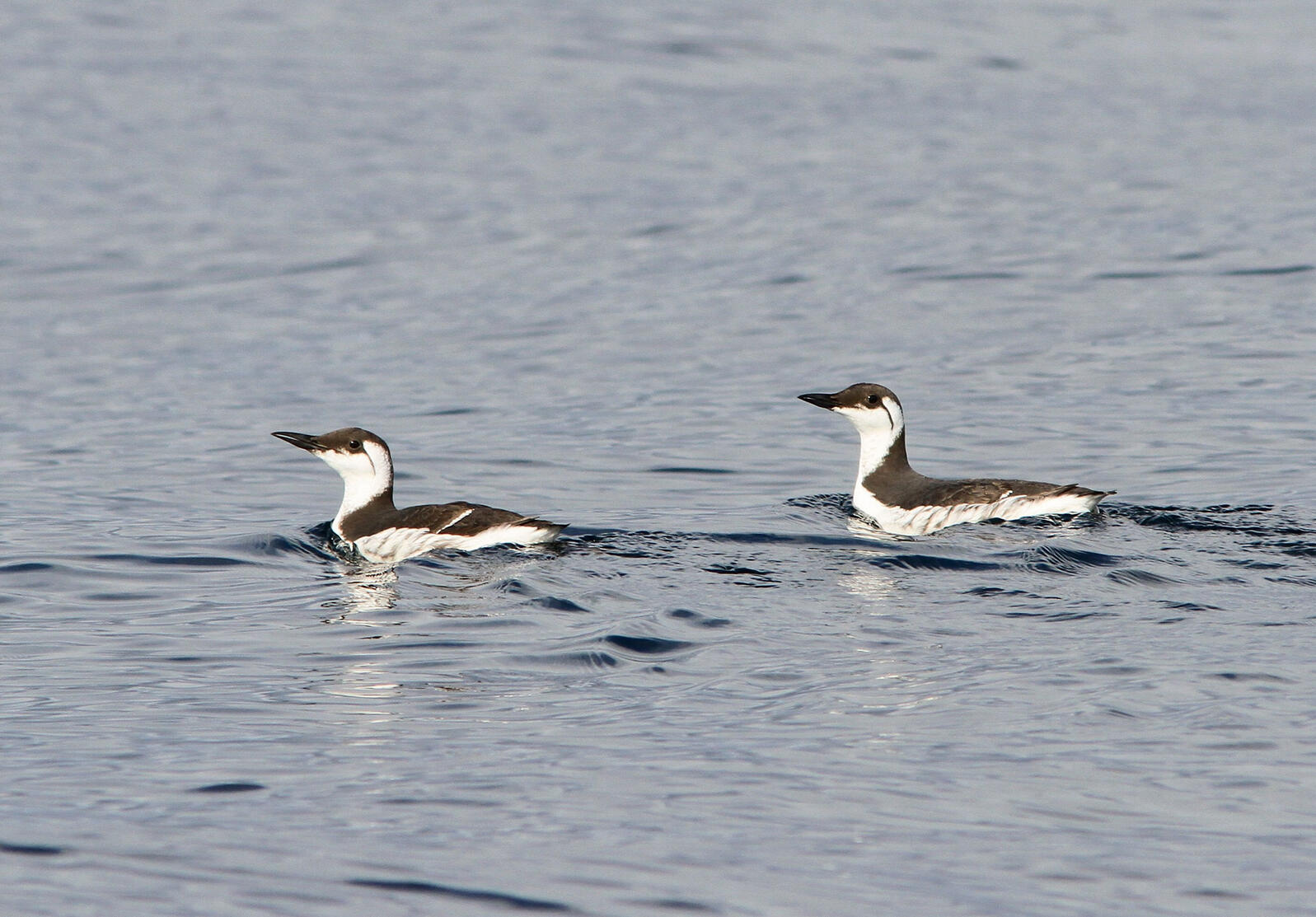 Common Murres. Trish Gussler/Flickr (CC BY NC ND 2.0)