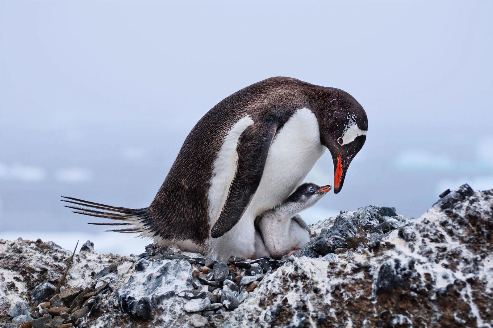 Gentoo Penguin and chick. Deborah Albert/2017 Grand Prize Winner
