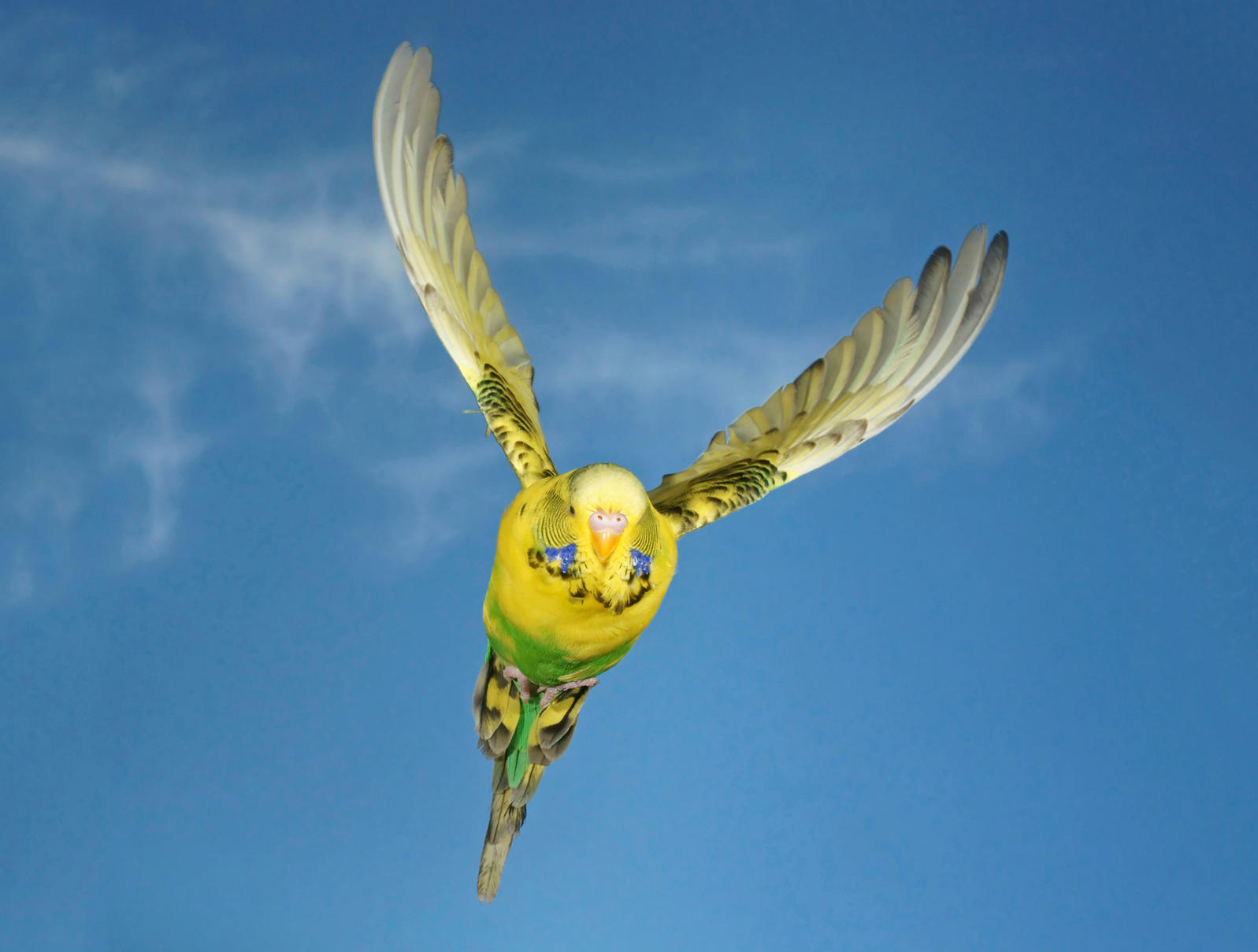 To avoid running into each other, Budgerigars are wired to turn right. imageBROKER/Alamy