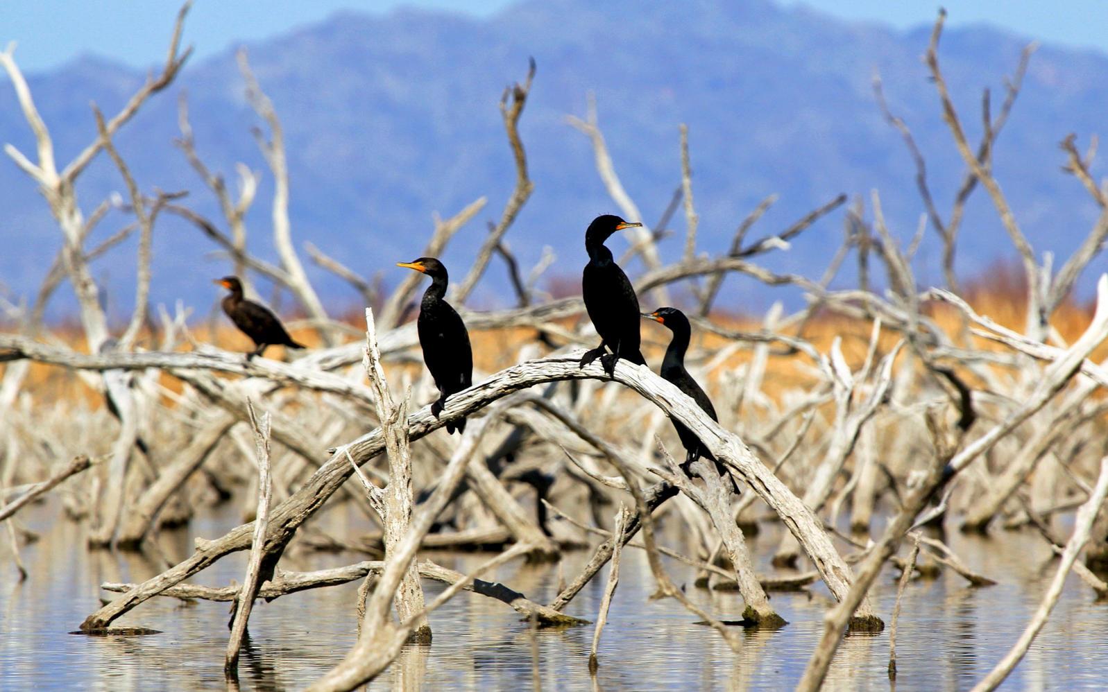 Double-crested Cormorants. John West/Great Backyard Bird Count