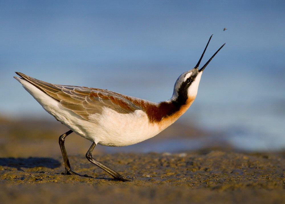 Wilson's Phalarope. Tim Timmis/Audubon Photography Awards