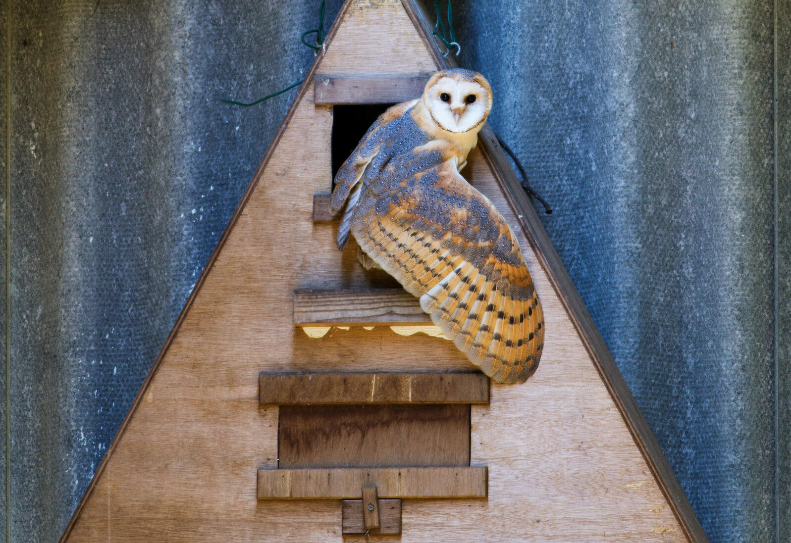Building nest boxes for Barn Owls might help tamp down deer mice, according to a proposal—and also a hantavirus that can jump from mice to people. Lee Dalton/Alamy
