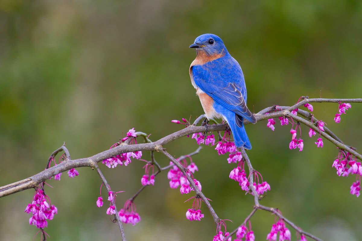 Eastern Bluebird. Glenda Simmons/Great Backyard Bird Count