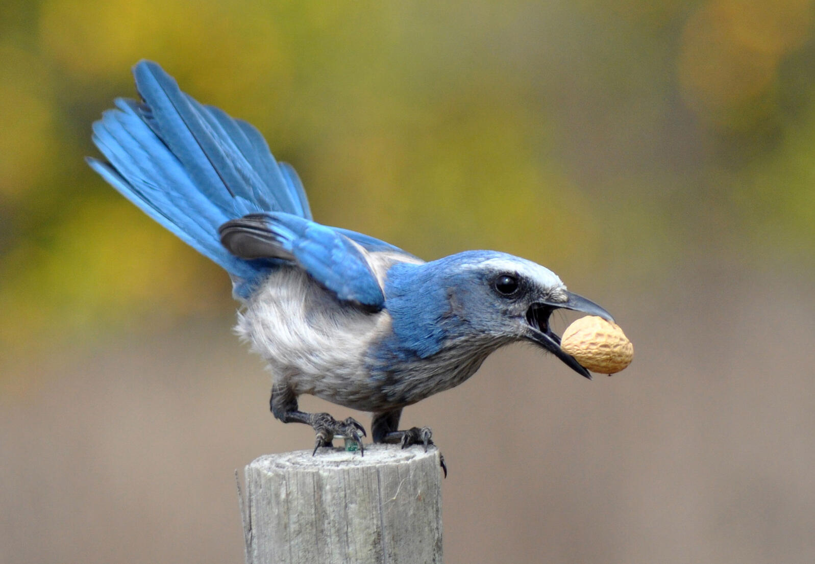 Corvids, including jays like this Florida Scrub-Jay, are known for their ability to create detailed mental maps. Louise E Hunt/Great Backyard Bird Count