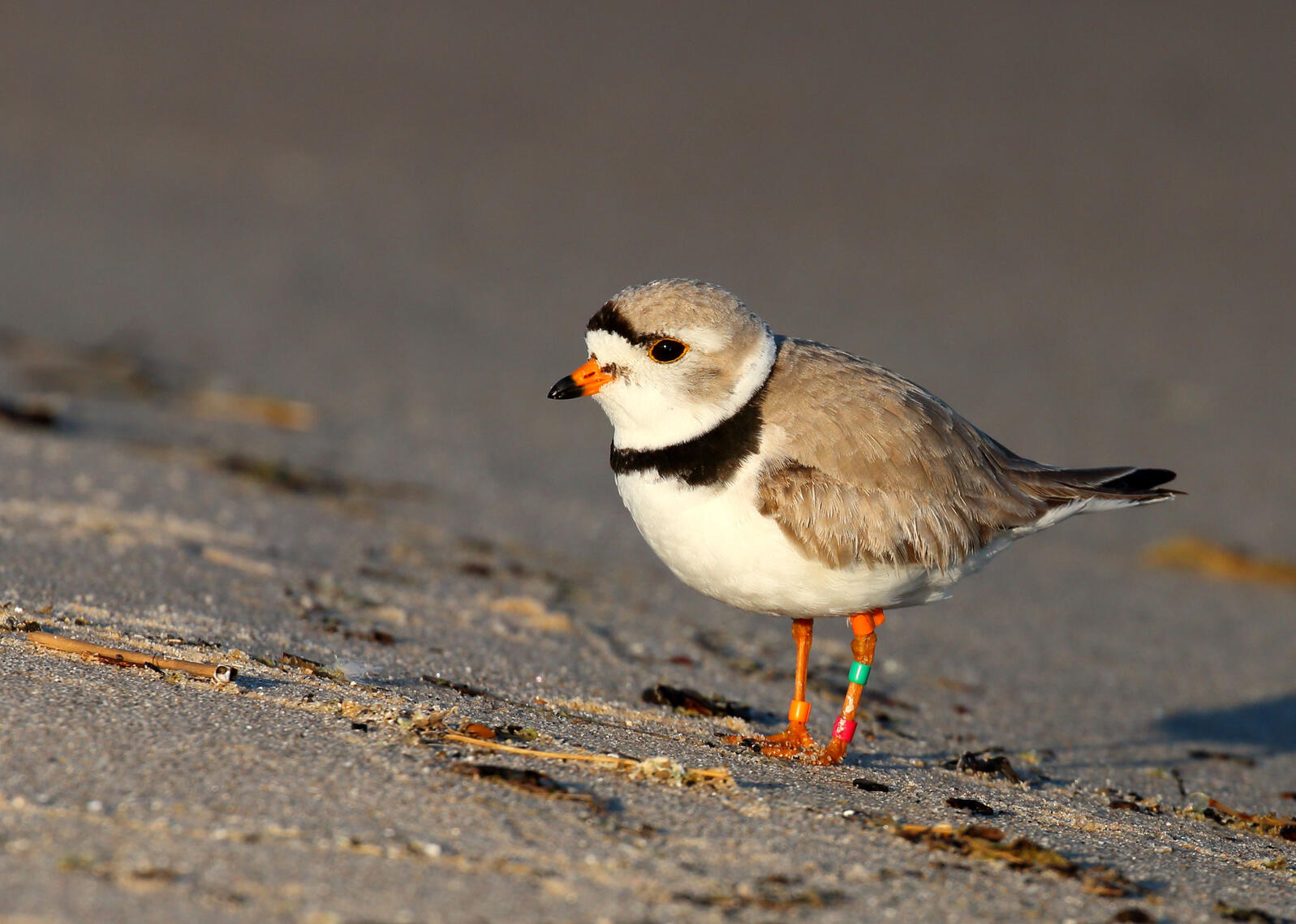 The population of Piping Plovers in the Great Lakes has increased consistently in the past three years. Here's one resting on North Manitou Island in Lake Michigan. Vince Cavalieri/USFWS