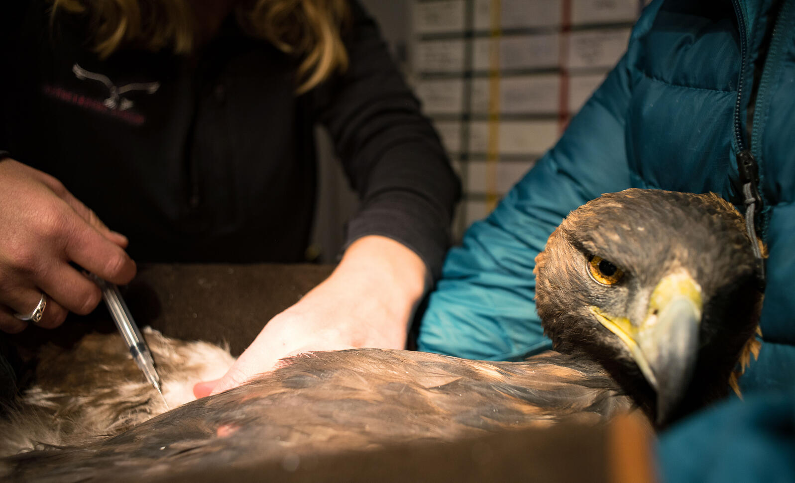 After being found unable to fly, this Golden Eagle was transported across Wyoming to get the help it needed thanks to a volunteer network of raptor runners. Moosejaw Bravo Photography