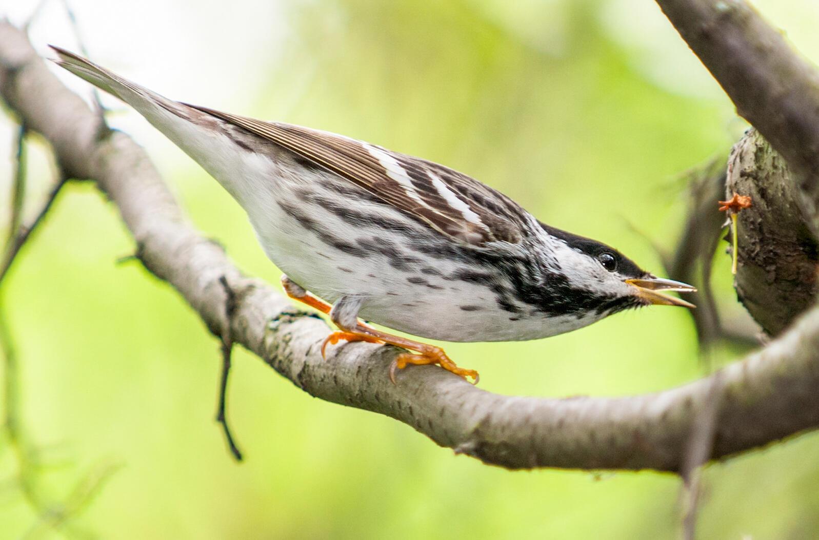 Blackpoll Warbler. Owen Deutsch/Audubon Photography Awards