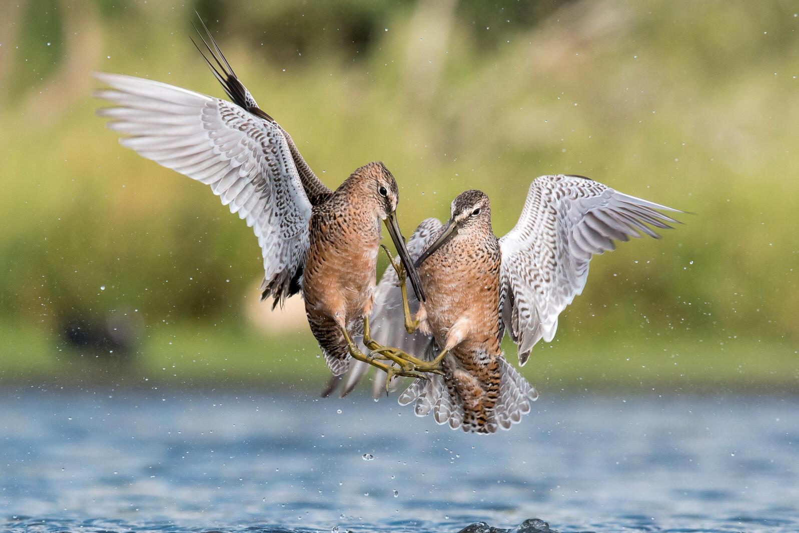 Long-billed Dowitchers. Melissa James/Audubon Photography Awards