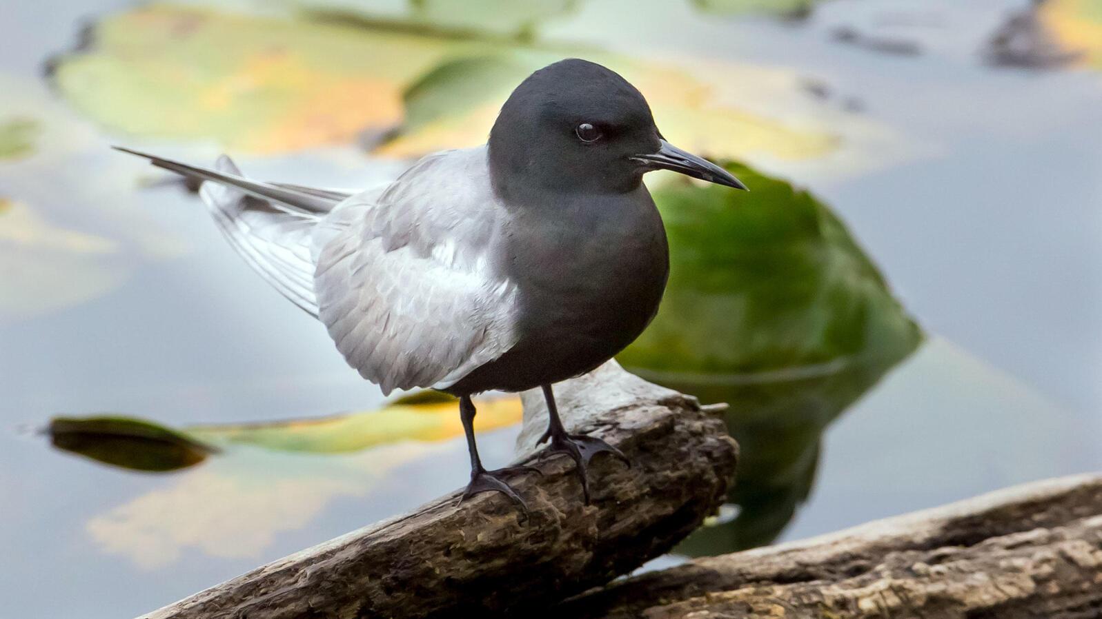 Black Tern. Black Tern. Mick Thompson/Flickr (CC BY NC 2.0)