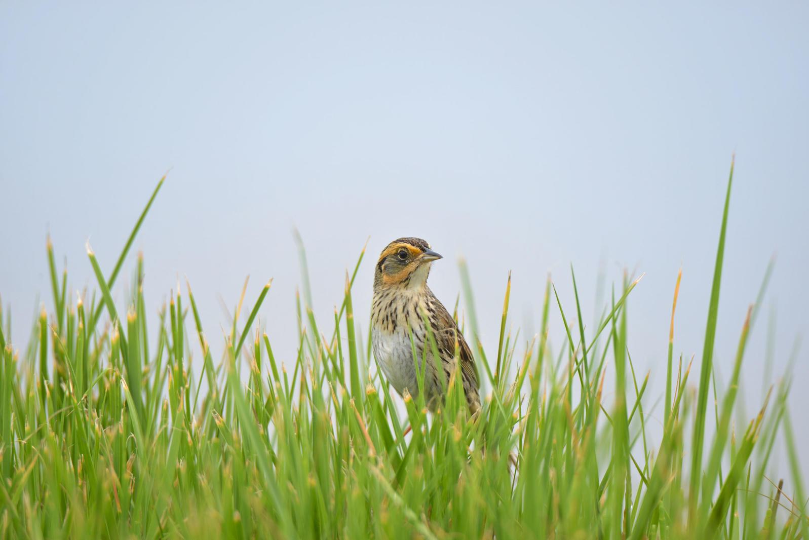 Saltmarsh Sparrow. Joesboy/iStock