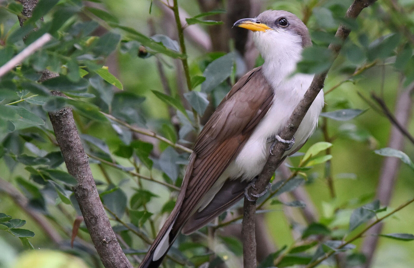 Yellow-billed Cuckoo. Andy Reago and Chrissy McClarren/Flickr (CC BY 2.0)