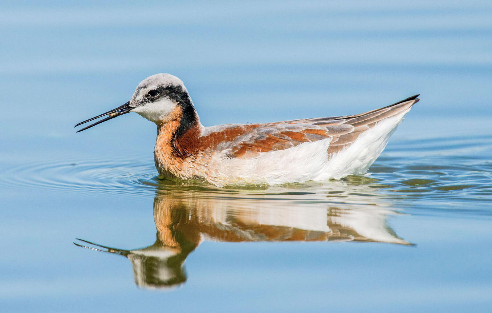 Wilson's Phalarope, a globally declining species, is dependent on western saline lakes and adjacent wetlands during fall and spring migration. Lillian Beasley/Audubon Photography Awards