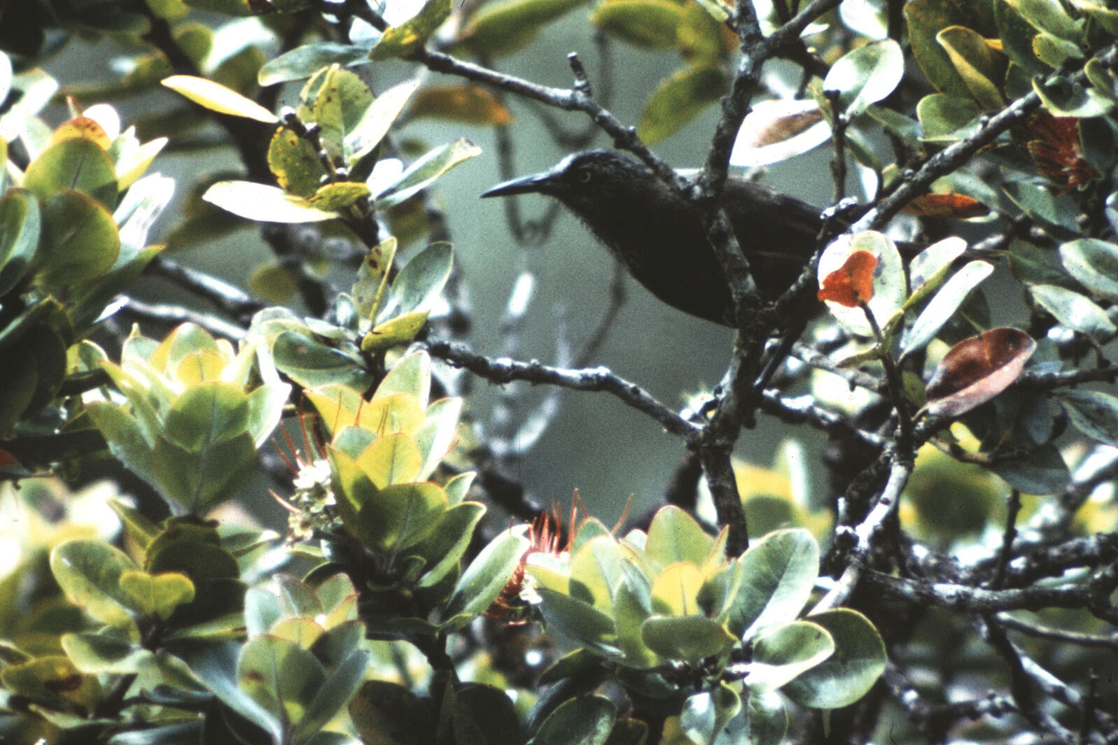 An eight-inch black bird with a long bill sits in a tree with many waxy green leaves. The photo quality is not very sharp, giving away the photo's age—it was taken in 1975.