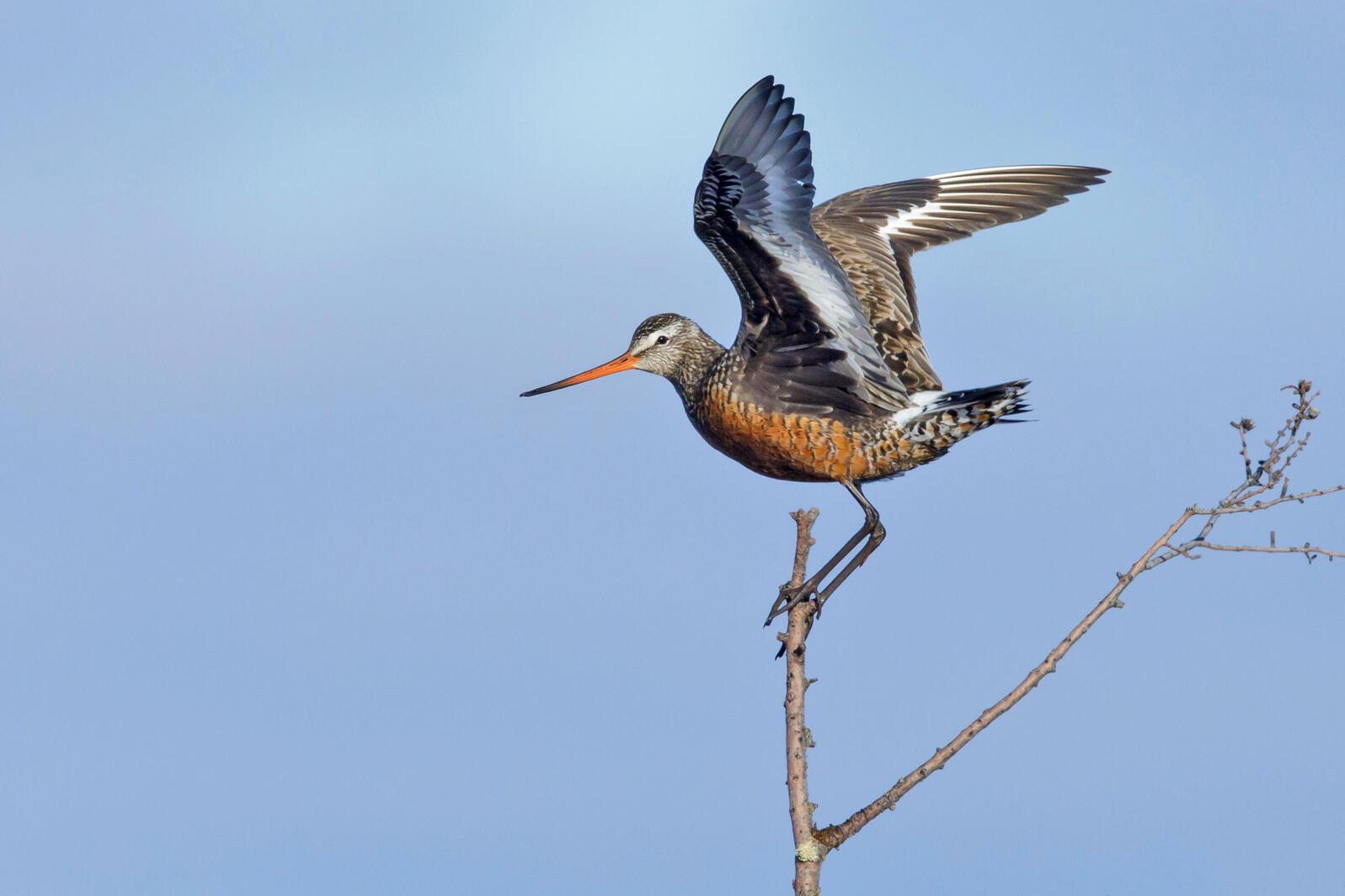 Hudsonian Godwit. Agami Photo Agency/Shutterstock