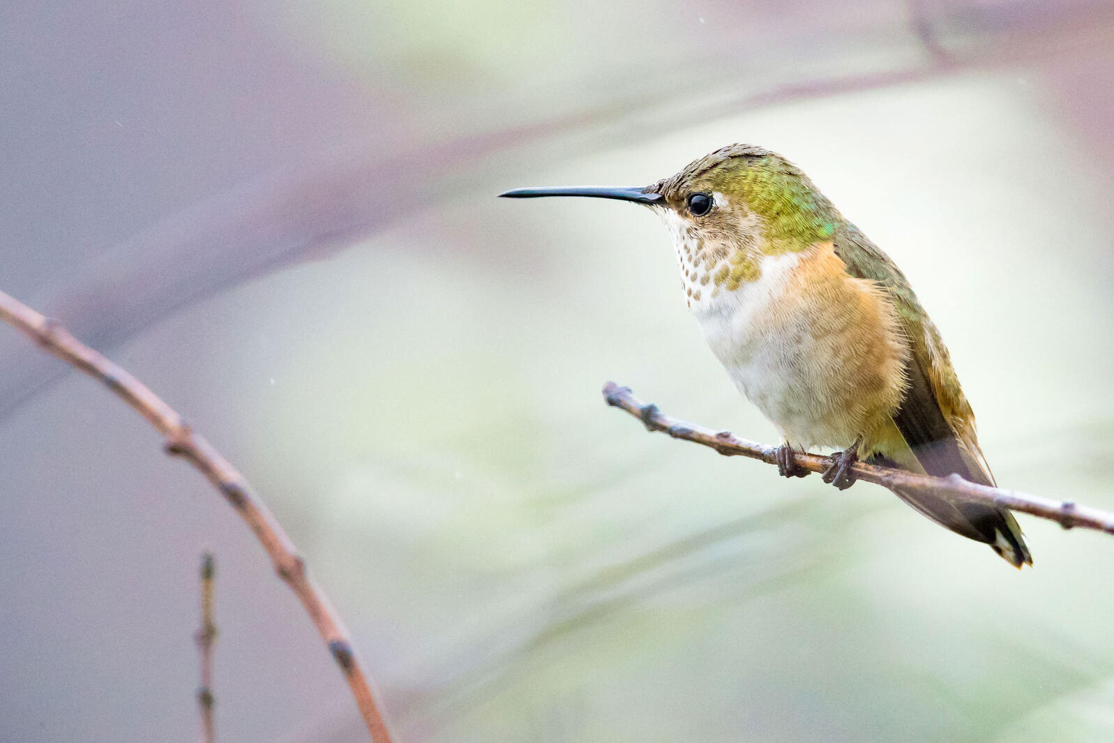 Female Allens Hummingbird. Roy Dunn