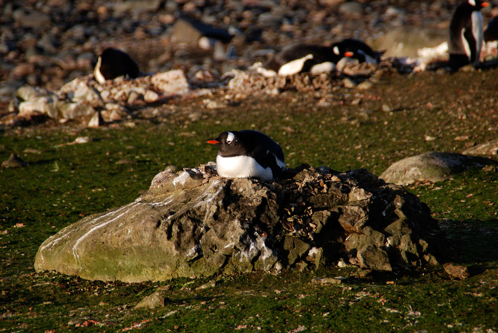Gentoo Penguins nesting on the rocky outcrops of Ardley Island. Stephen Roberts