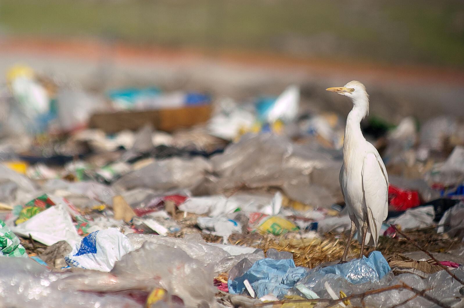 Cattle Egret. JAah/iStock
