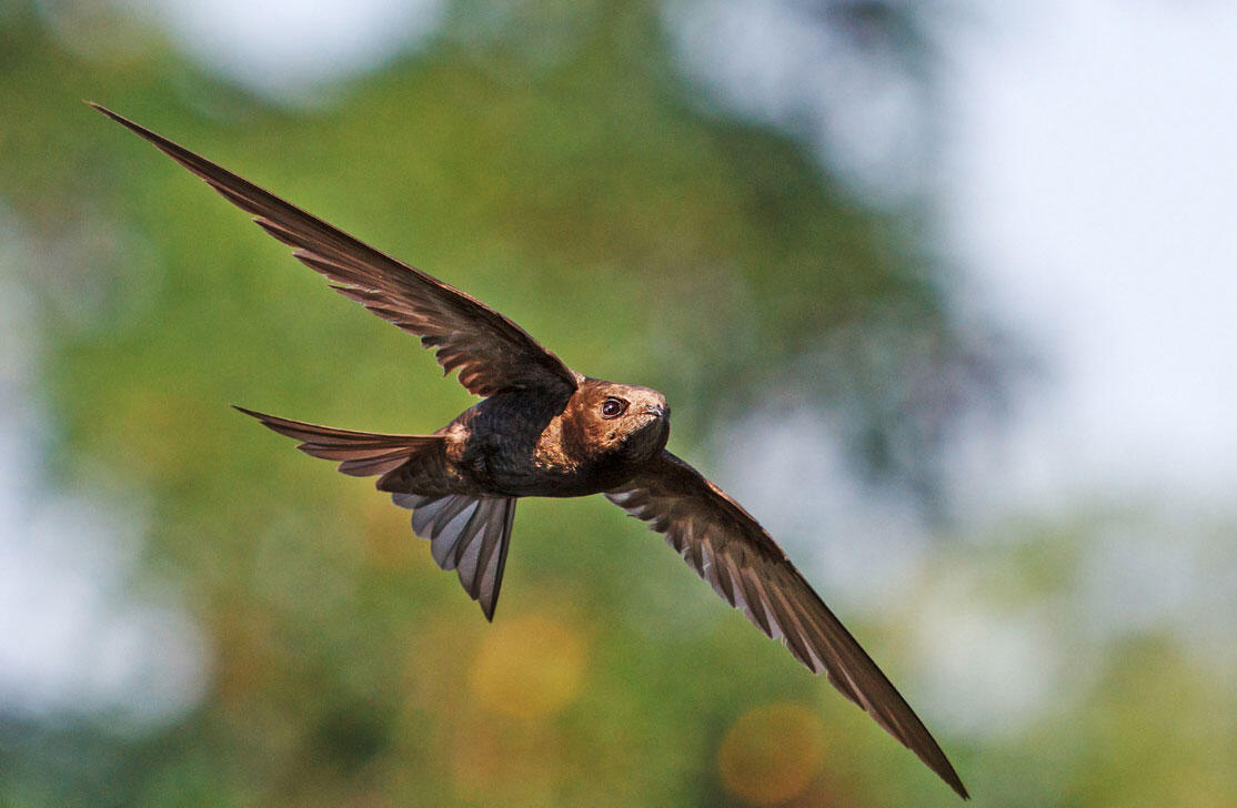 At least the Common Swift still has one record to its name. What do you have? Drakuliren/iStock