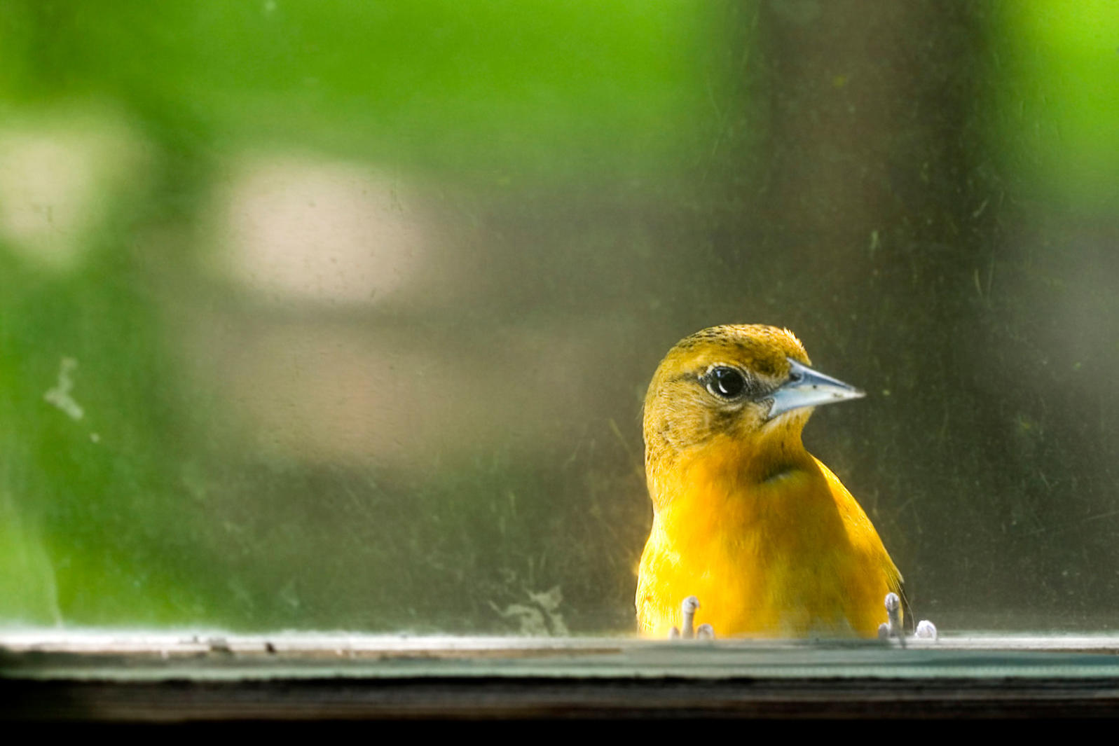 Sometimes, even a female Baltimore Oriole can set off the FOMO. Caitlin Cahill/iStock