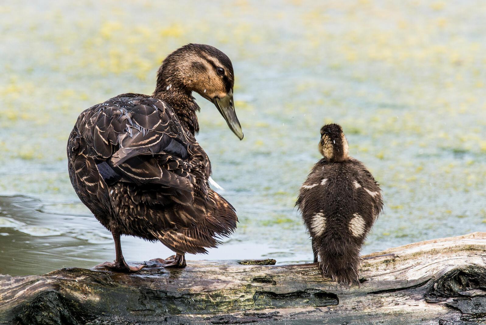 American Black Duck with young. JWiliszowski/iStock