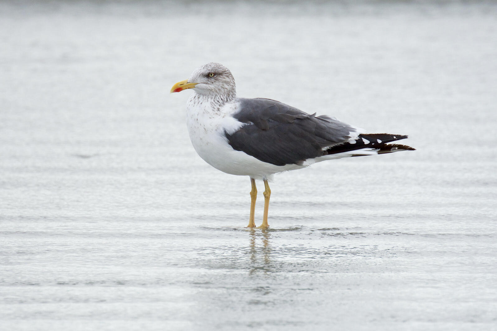 Lesser Black-backed Gull. ohfalcon72/Flickr (CC BY NC ND 2.0)