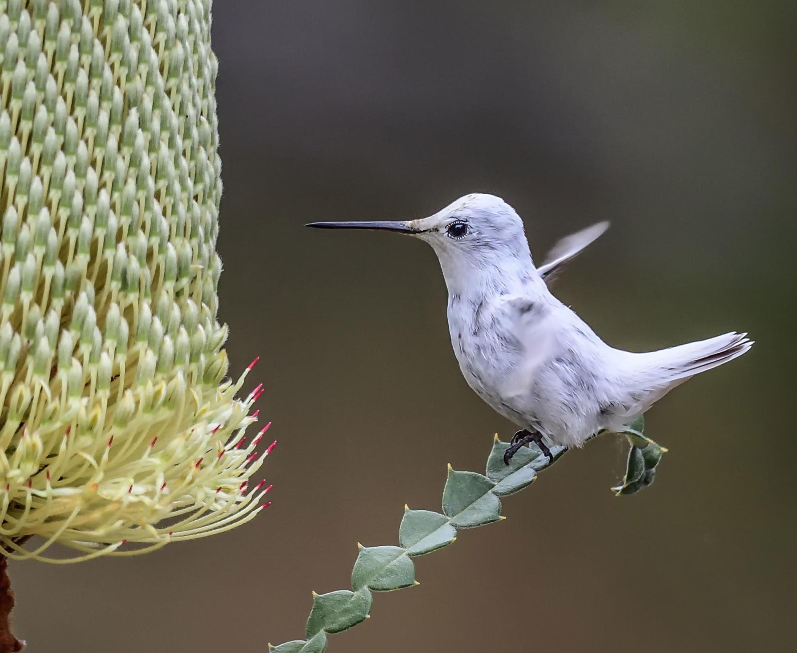 Leusictic Hummingbird