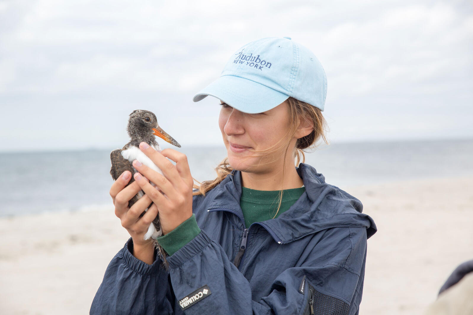 Seren Bagcilar of Audubon New York holds an American Oystercatcher chick in preparation for tagging. Lido Beach, Long Island. Hillary Eggers/Audubon