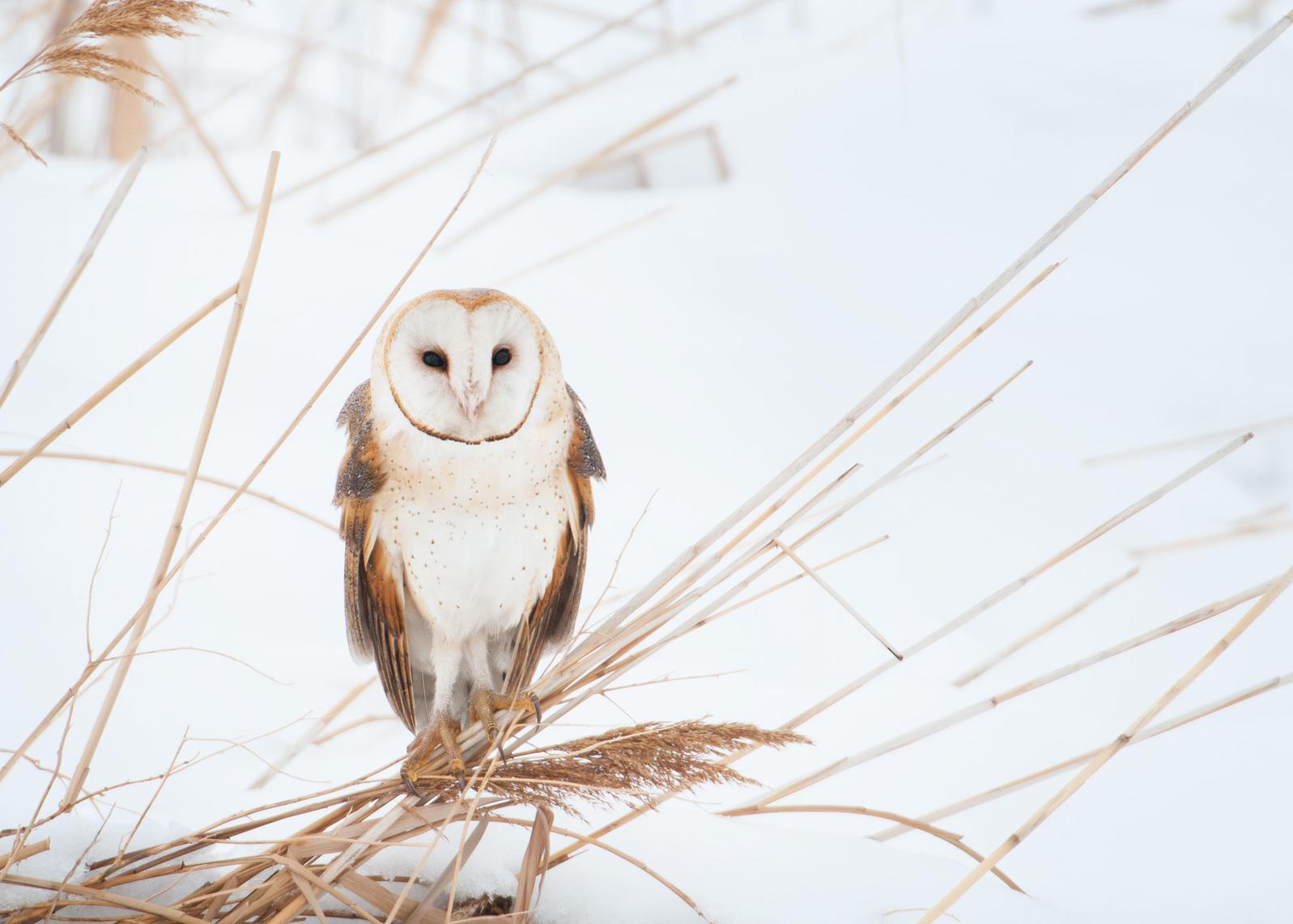 Barn Owl. Mia Mcpherson