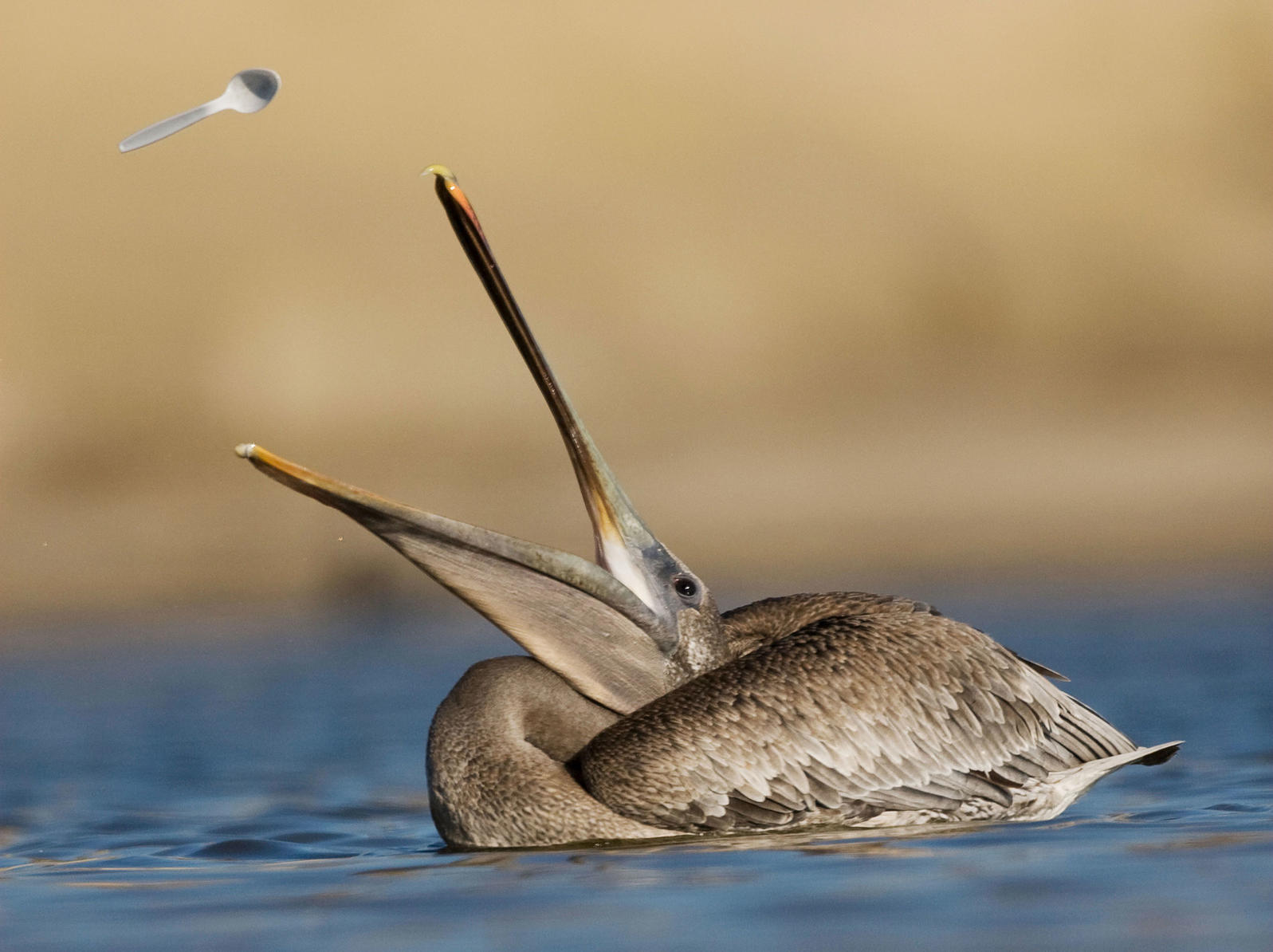 Brown Pelican juvenile tossing plastic spoon up in the air. Sebastian Kennerknecht/Minden Pictures