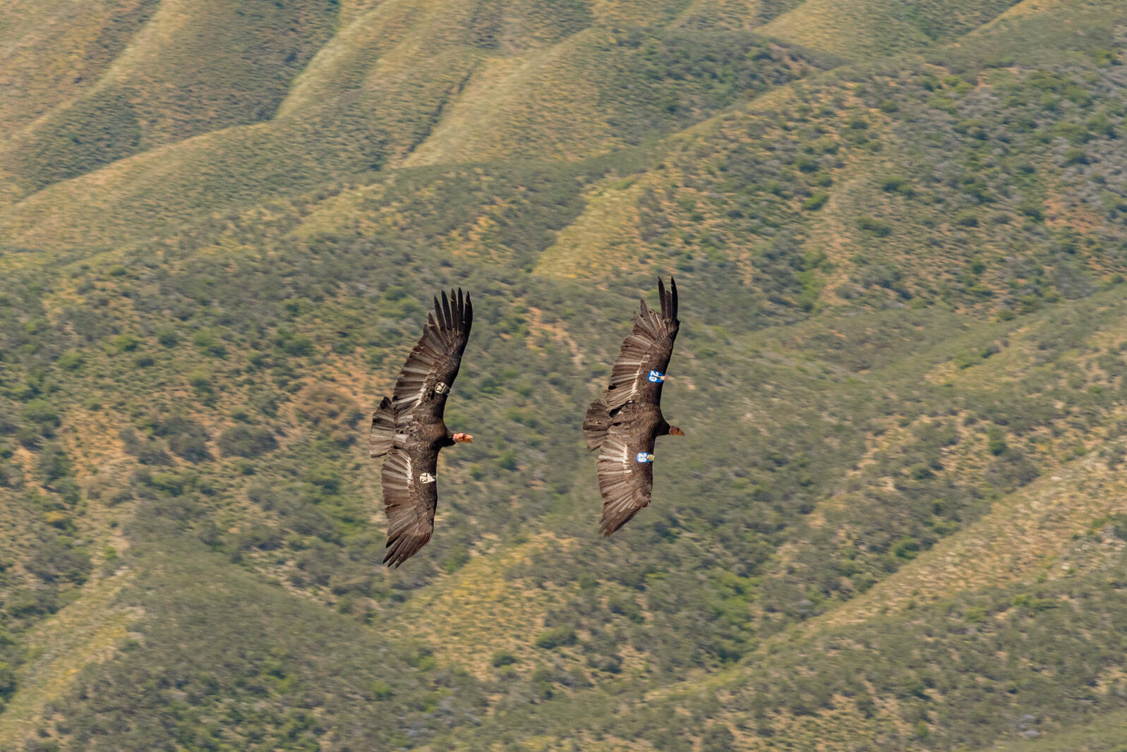Two California Condors soar above forested hills. The dark-brown birds with featherless heads are the largest land birds in North America, with wingspans stretching 10 feet. Jeff Foott/NPL/Minden