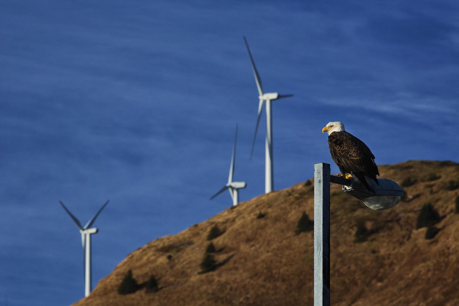 Un Águila Calva se posa en un poste de luz en Kodiak, Alaska.
