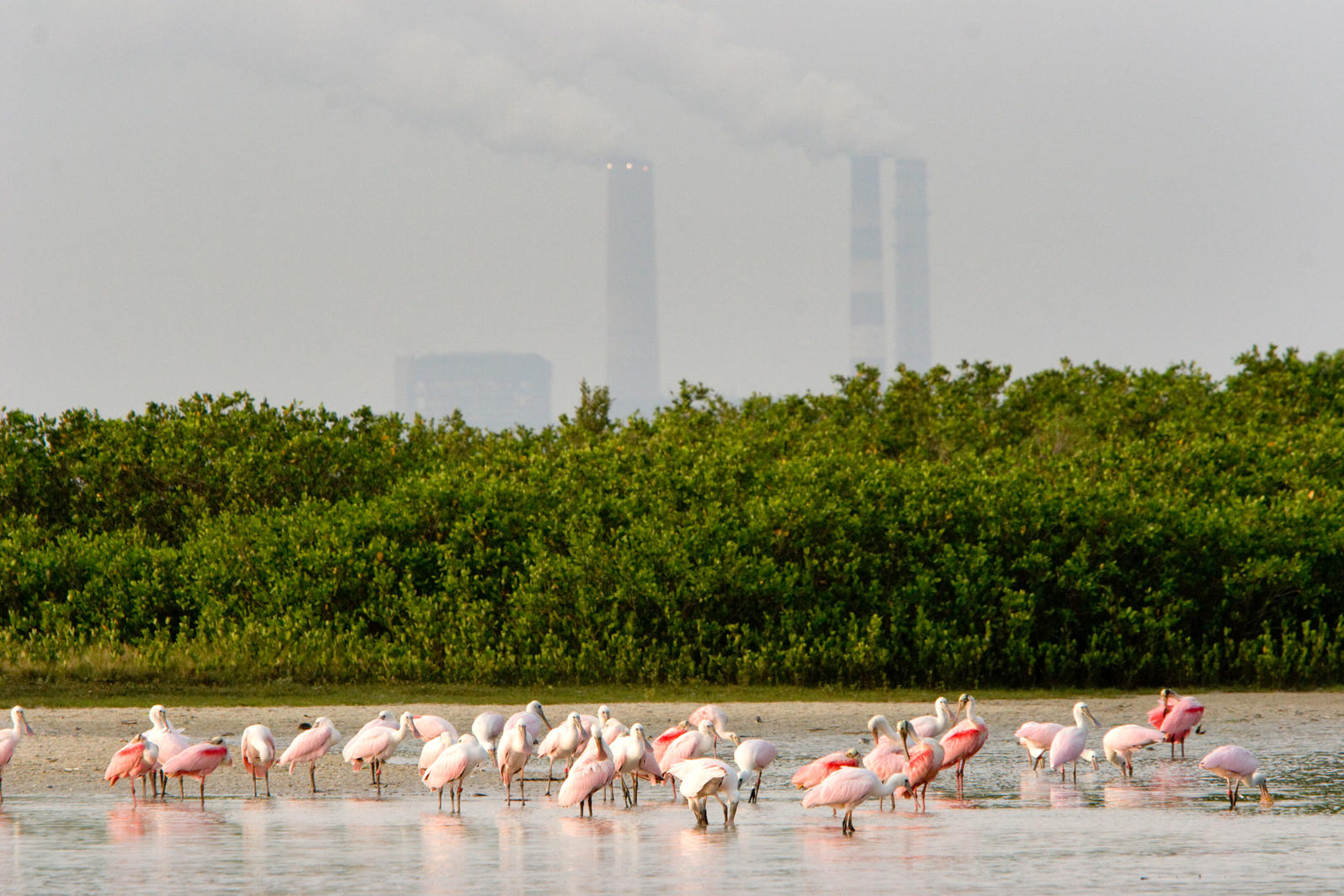 Roseate Spoonbills feed on a mangrove island in Florida. Tim Laman/National Geographic Creative