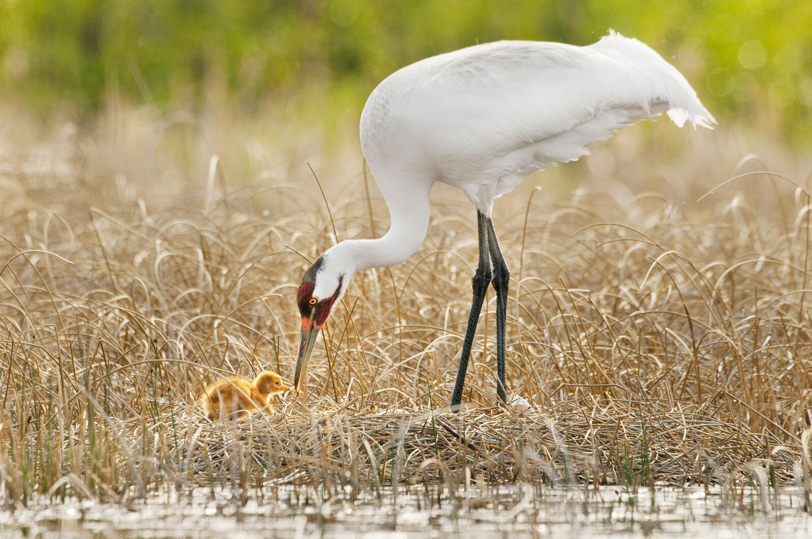 A Whooping Crane offers an insect to its hatchling in Wood Buffalo National Park, Canada. Klaus Nigge/National Geographic Creative