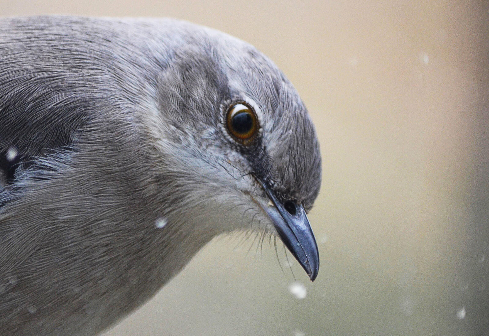 How many languages do you know? A Northern Mockingbird can learn more than 200. Stacie Cantu/Great Backyard Bird Count