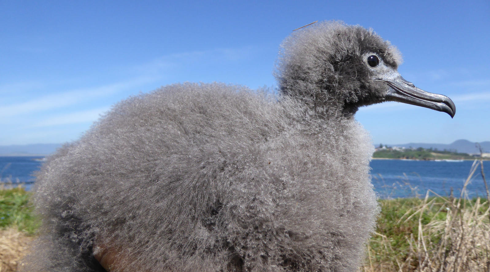 Wedge-tailed Shearwater chick. Rowena Morris