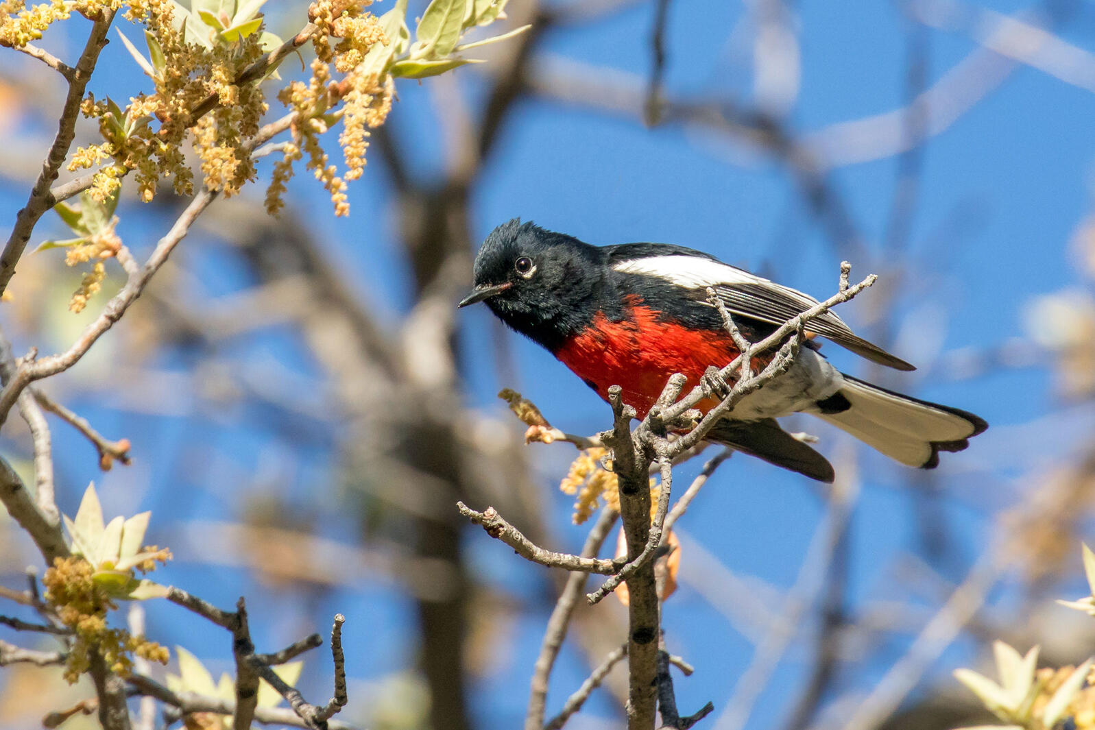 Painted Redstart. Mick Thompson/Eastside Audubon
