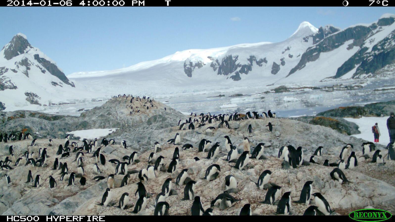 Adélie Penguins. Penguin Watch/Zooniverse