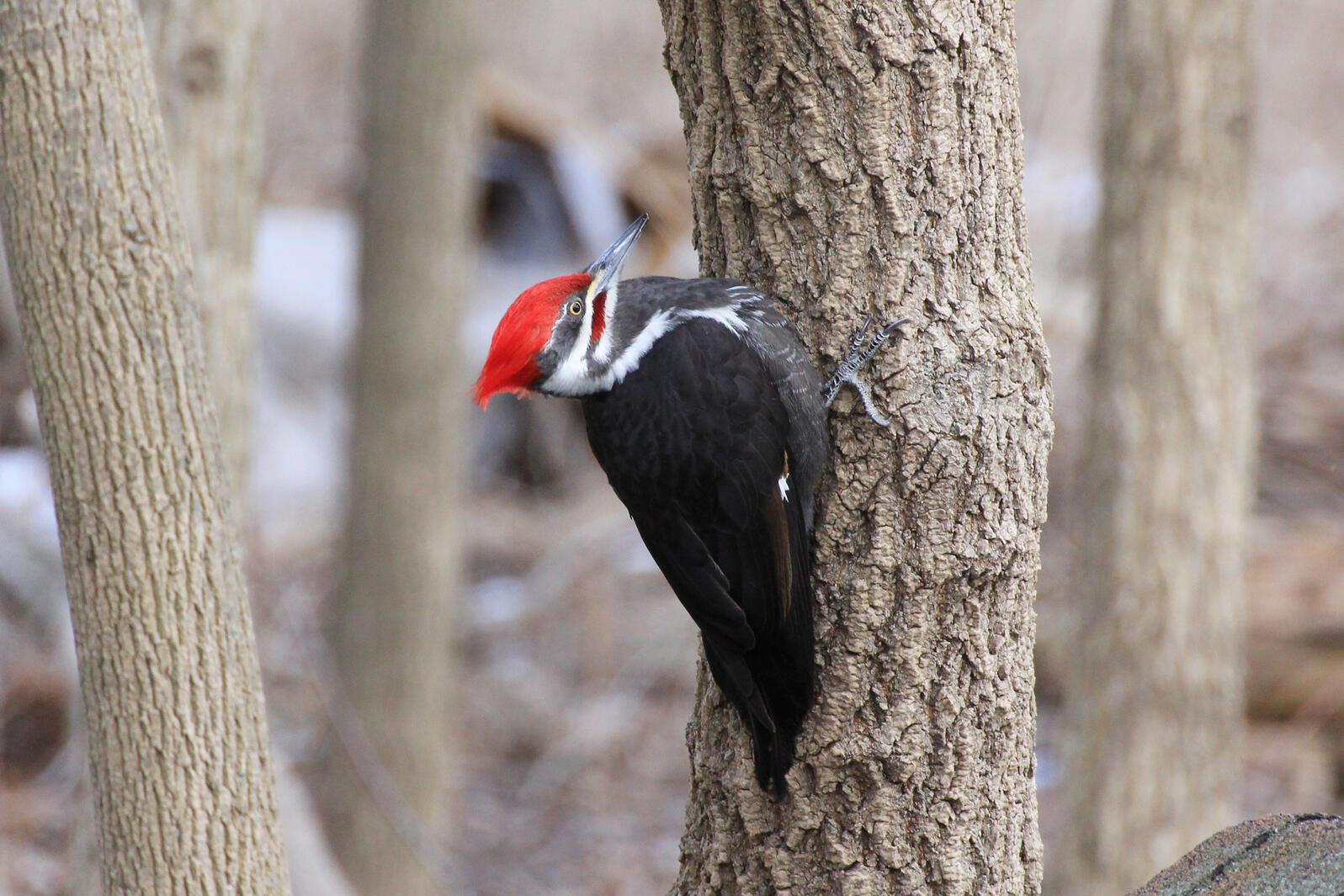 Pileated Woodpecker. Cathy Eaton/Audubon Photography Awards