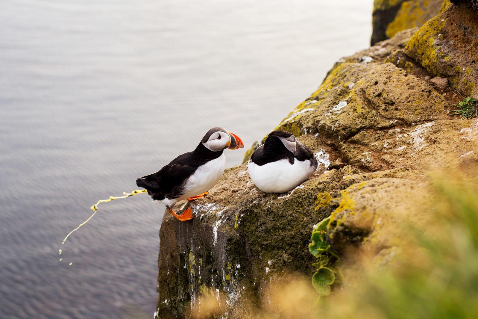 An Atlantic Puffin doing its part. Ale Koziura/Shutterstock